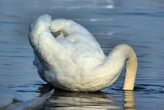 Swan with its head in the water Royalty Free Stock Image