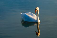 Swan and its reflection. Peaceful swan giving the impression to contemplate itself in a mirror Stock Photos