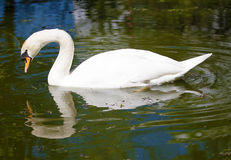 Swan and its reflection. Swans are birds of the family Anatidae within the genus Cygnus. The swans' close relatives include the geese and ducks Royalty Free Stock Photos
