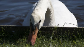 Swan Just Having a Nibble. Swan taking a nibble of greens to follow the fresh fish dish from the lake Stock Photography