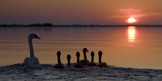 Swan with juveniles sail into the sunset. On the Volga river delta Royalty Free Stock Photo