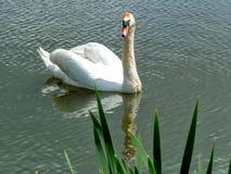 Swan at Kedleston Hall Stock Images