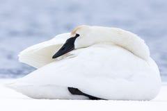Swan keeping warm in winter Stock Photos