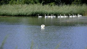 Swan that keeps its distance from the others. Of the flock. The birds are all in a pond stock video