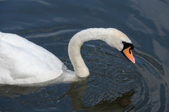 Swan on the Kennet and Avon Canal stock photo