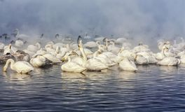 Swan Kingdom stock photos