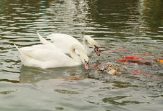 Swan with koi fish swimming in pond Royalty Free Stock Photos