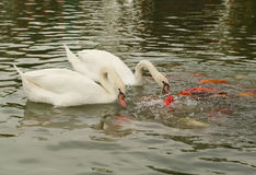 Swan with koi fish swimming in pond Royalty Free Stock Photography