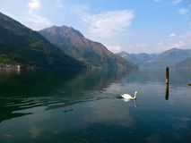 Swan on Lago d`Iseo in Northern Italy stock images