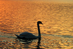 A swan in lake. Swan rests on the lake Royalty Free Stock Image