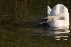 A swan in lake. Swans rests on the lake Royalty Free Stock Photography