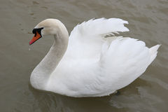 Swan in the lake Royalty Free Stock Photography