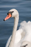 Swan on lake Royalty Free Stock Photos