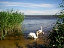 Swan lake. Royalty Free Stock Photos