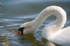 Swan on lake Royalty Free Stock Photos