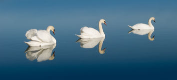 Swan Lake. 3 white swans swimming in a line at a lake in calm water Royalty Free Stock Photos