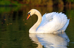 Swan in lake. With reflection Stock Images