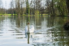 Swan on a lake stock images