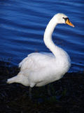 Swan Lake. A swan looks elegant with a blue lake background Stock Image
