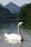 Swan Lake. Swan floating on a mountain lake in southern germany Stock Photos