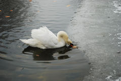 Swan on lake. White swan on a lake Royalty Free Stock Images