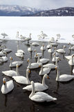 Swan lake Stock Images