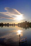 Swan at lake. Sunset at lake with swan Stock Photos