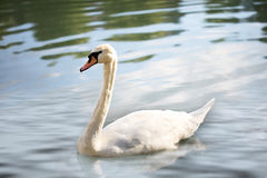 Swan on the lake Royalty Free Stock Photography