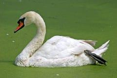 Swan Lake 2. Swan Swimming in a pond of algae Royalty Free Stock Image