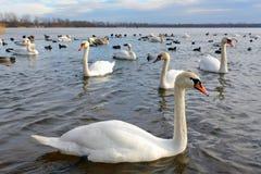 Swan lake royaltyfri fotografi