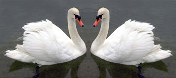 Swan lake Royalty Free Stock Photography