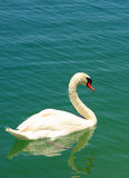 Swan on lake. This is a swan swimming in the lake stock photos