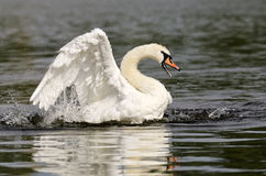 Swan Lake Stock Photography