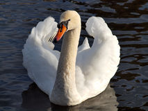 Swan On A Lake. A swan swimming on a lake in Cornwall with its wings partially spread Stock Photos