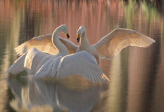 Swan Lake Arkivbild