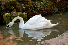 Swan on the lake Stock Images