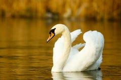 Swan on the lake Royalty Free Stock Photo