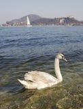 Swan at lake Royalty Free Stock Image