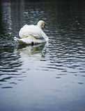 Swan on lake Stock Photos