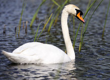 Swan in lake Royalty Free Stock Photography