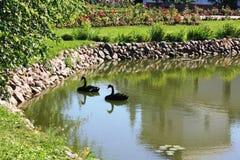 Swan lake Arkivfoton