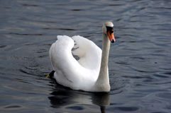 Swan on the lake. A swan paddling across a lake Royalty Free Stock Photos
