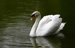 Swan lake Royalty Free Stock Photos