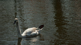 Swan lake Royaltyfri Foto