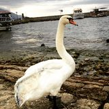 Swan. Lake a Stock Image