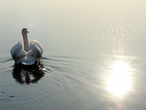 Swan lake. Vicinities of the ancient Russian city of Izborsk in the spring royalty free stock images