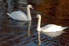 Swan lake 免版税库存图片