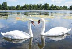 Swan lake arkivbilder