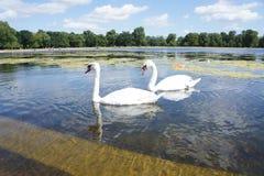 Swan lake royaltyfria bilder