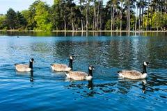 Swan lake 免版税库存照片